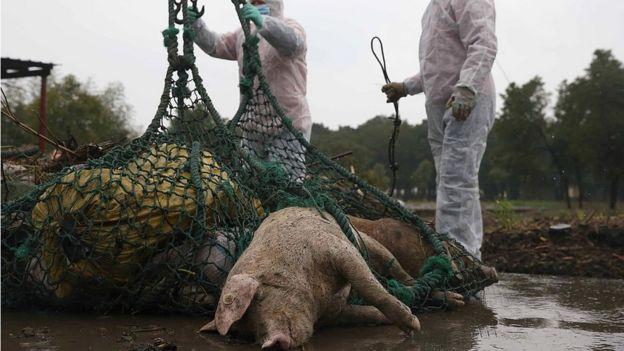 Cerdos sacrificados