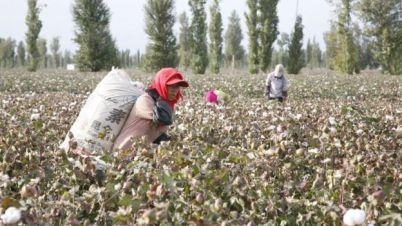 Província de Xinjiang é grande produtora de algodão e desempenha papel importante na indústria têxtil global