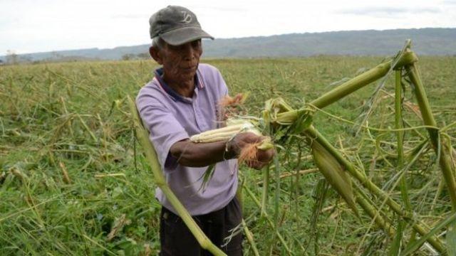 A farmer inspects his damaged corn crop
