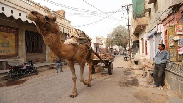 Um camelo em uma rua da Índia.