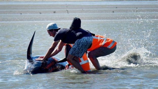 """Képtalálat a következőre: """"New Zealand whales: Hundreds refloat on high tide at Farewell Spit"""""""