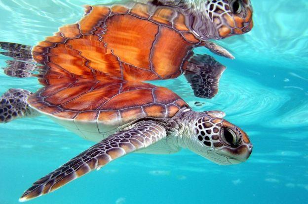 Tartarugas nadando