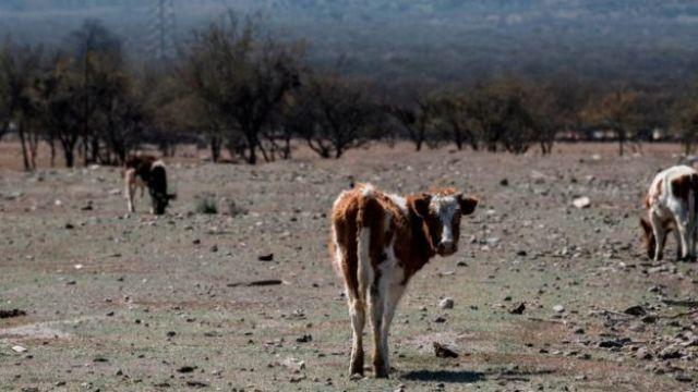 Animais em pasto ressecado, durante a seca no Chile