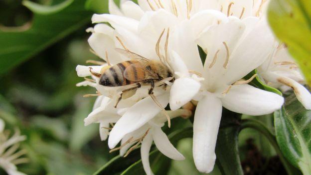 Abeja en flores de la planta de café