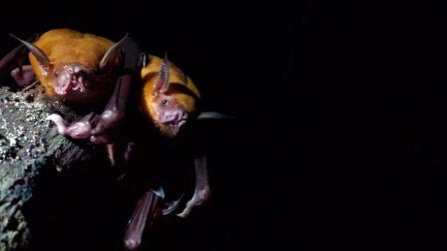 Morcegos 'Noctilio leporinus'