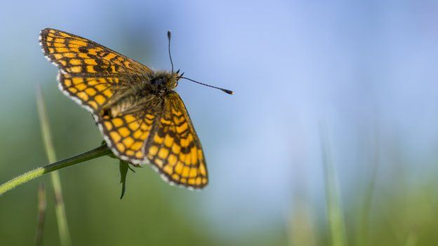 High brown fritillary on plant
