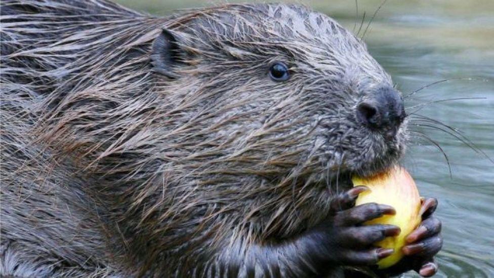 Scottish beaver