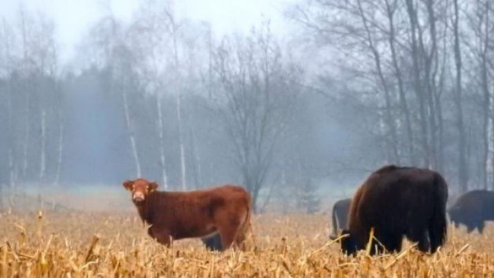 Bizonların arasında inek