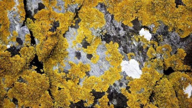 Líquens amarelos crescendo em rocha