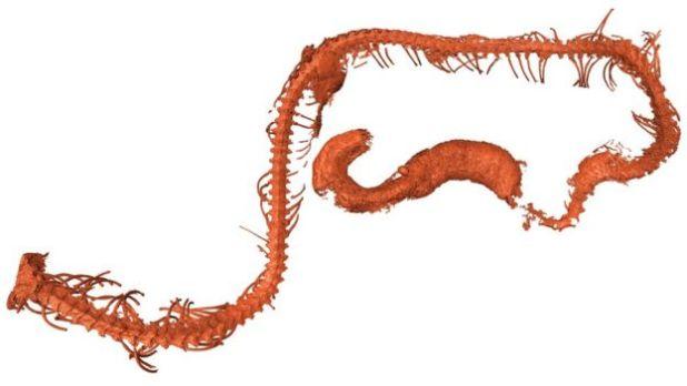 يتشابه حجم الثعبان مع الأنواع الحية، مثل ثعبان الأنبوب الأسيوي