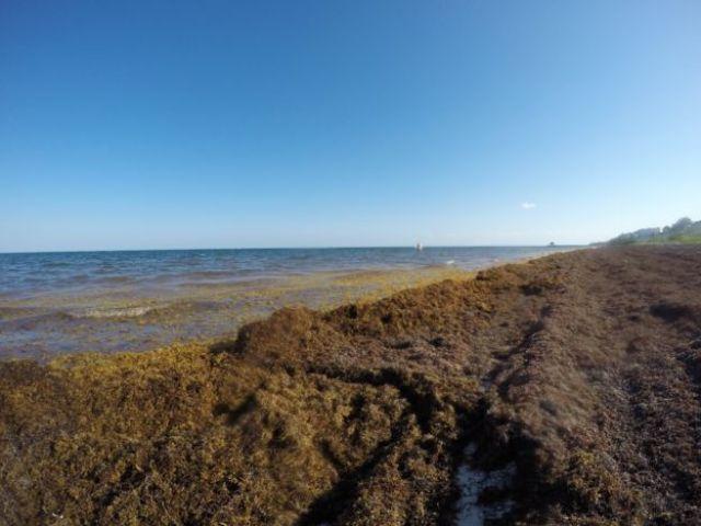 Sargaço acumulado na areia em praia caribenha