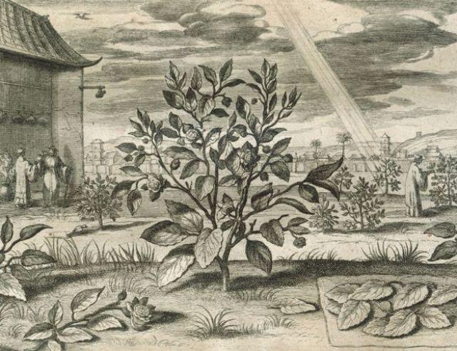 Grabado mostrando una planta de té, Camellia sinensis, en China