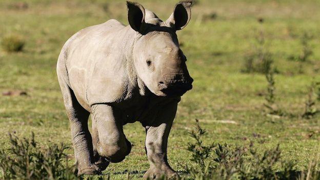 A baby rhino running
