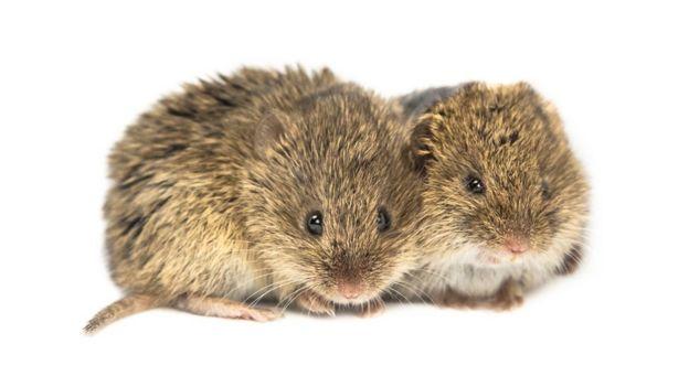 Dois ratos do campo