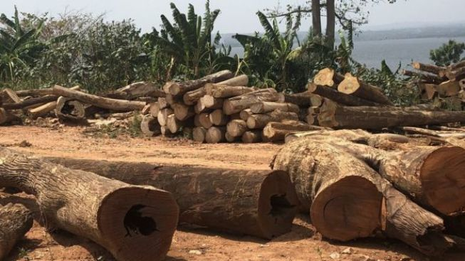 Le bois du lac Volta pourrait potentiellement doubler les exportations de bois du Ghana, selon Kete Krachi