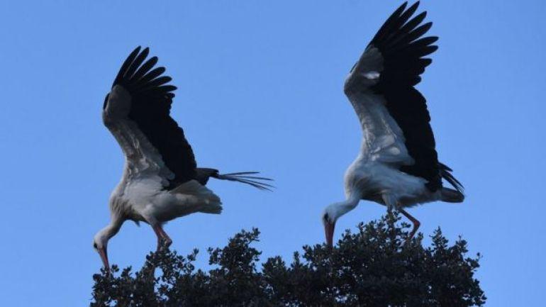 White storks seen in Madrid