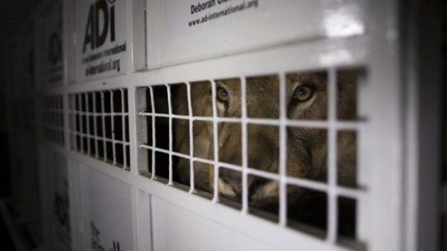 Transporte de leões pela ADI