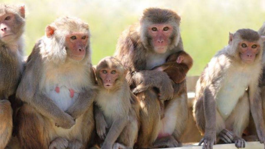 Teste em macacos