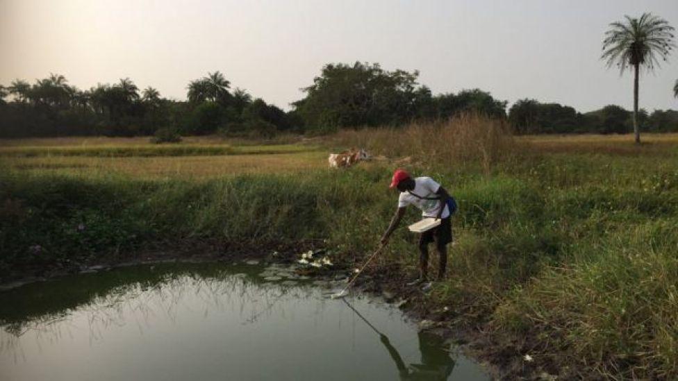 Islander Ansulmani recoge larvas de mosquito