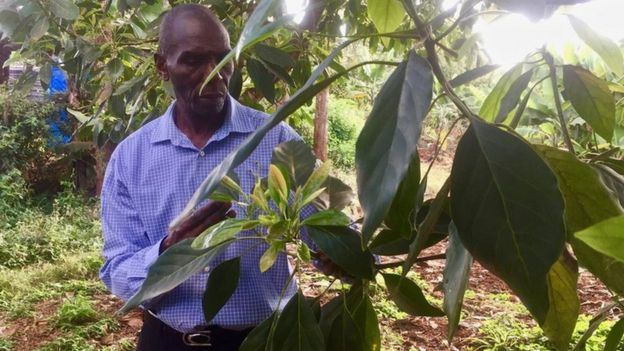 Peter Kariuki insepcts the leaves of an avocado plant on his farm