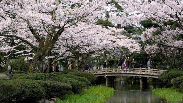 Cherry blossoms in Kenroku-en garden