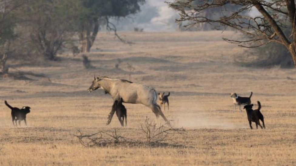 Un toro blu viene attaccato da cani randagi nello stato indiano del Rajasthan