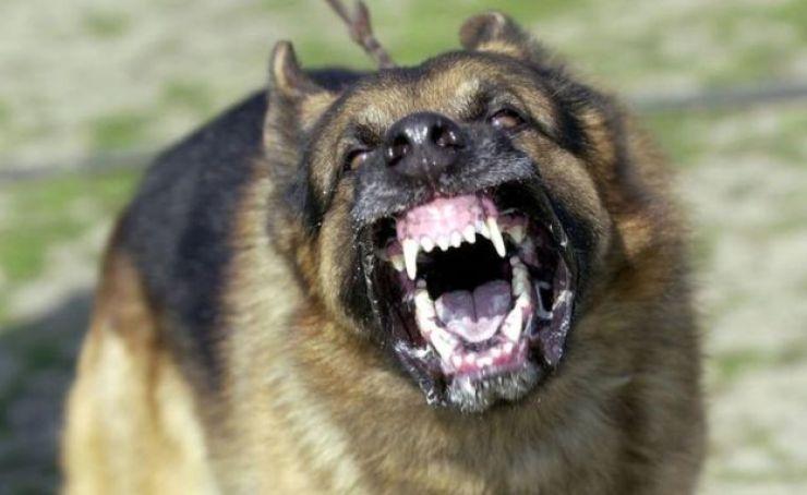 Un ovejero alemán muestra sus dientes