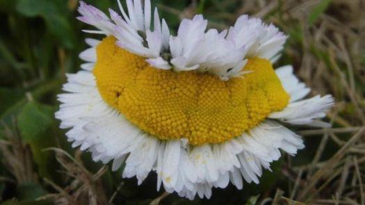Flor com vários miolos
