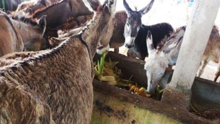 Criação de jumentas para ordenha do leite em Carpina (PE)