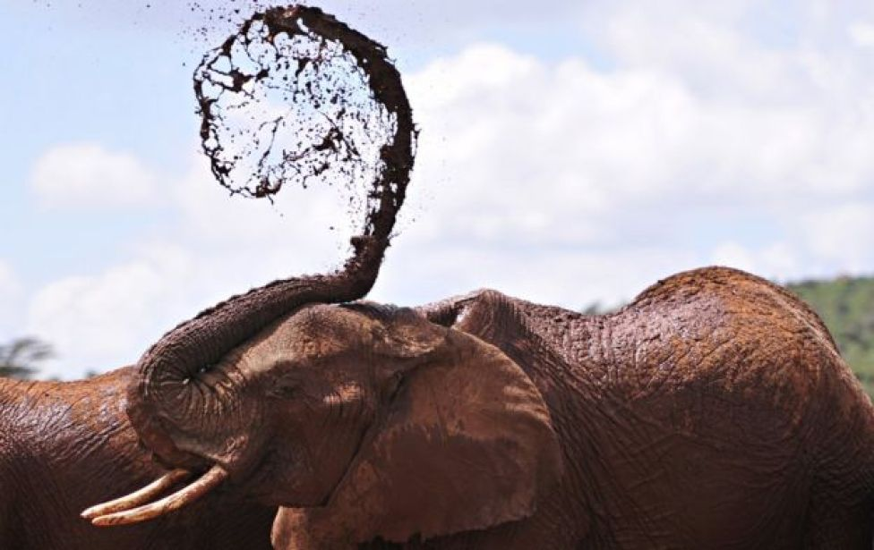 An African elephants throws mud onto himself at the Mpala Research Center and Wildlife Foundation, near Rumuruti, Laikipia District, Kenya, on January 31, 2016.
