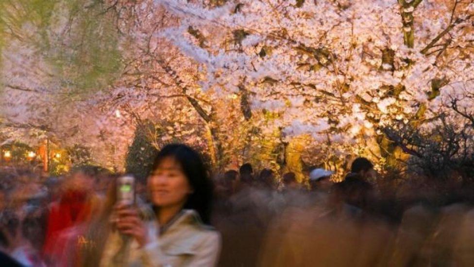 Japonya kiraz çiçekleri