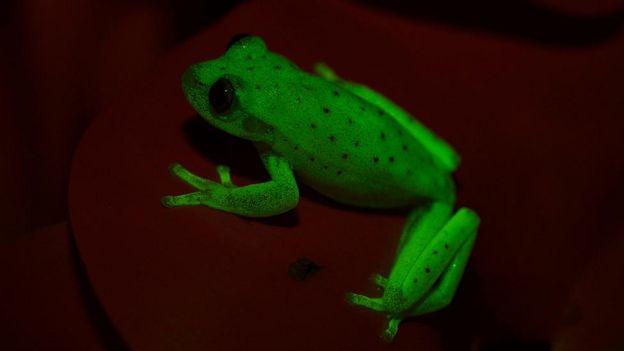 Rana fluorescente.