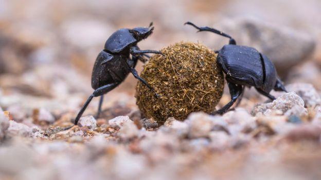 Escaravelho, um tipo de besouro
