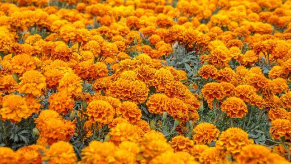 Cempasúchil, flor con la que se decoran los motivos del Día de Muertos en México.