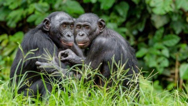 Bonobos no Congo