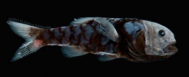 Poromitra crassiceps (c) Karen Osborn