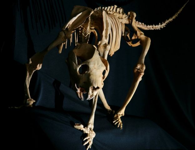 A reconstructed skeleton of the marsupial lion, which weighed up to 100kg