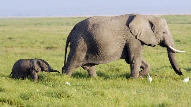 An elephant and calf walk along the grasslands in Kenya. File photo