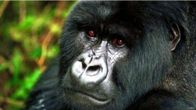 大猩猩也有與人類相似的眼白 - BBC 英倫網