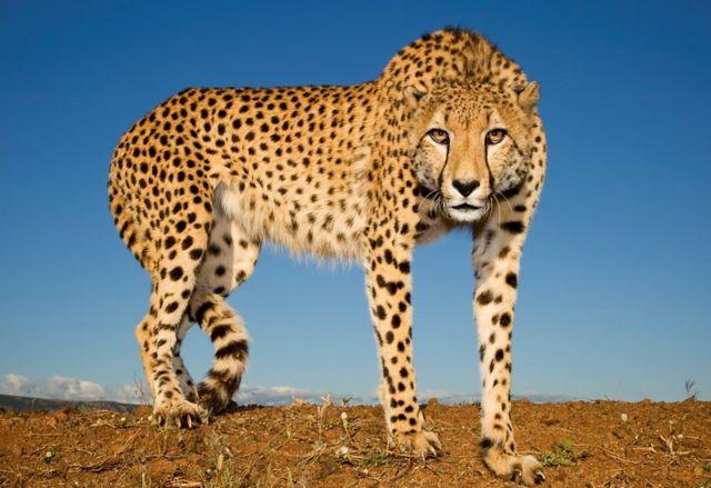 A cheetah hunter in Zimanga Zululand