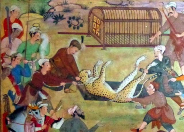 Akbar raises the hunted leopards (from Kitab Akbar).