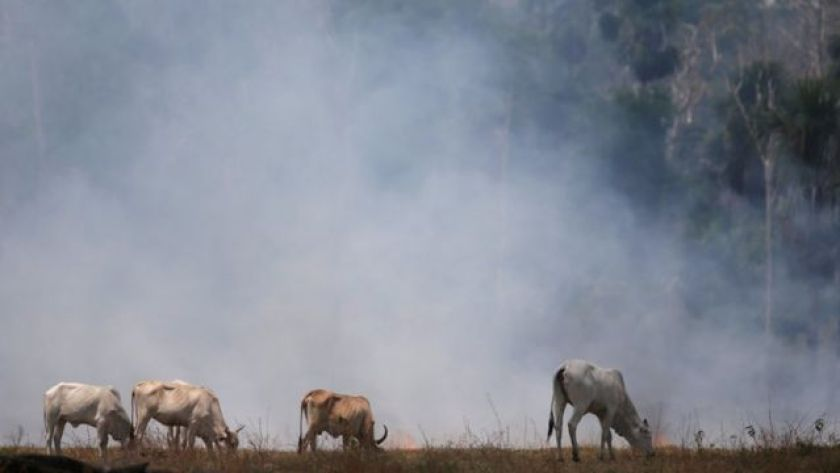 Cattle grazing in a field hit by a fire that burned an area of the Amazon rainforest cut down by ranchers in Rio Pardo, Rondônia