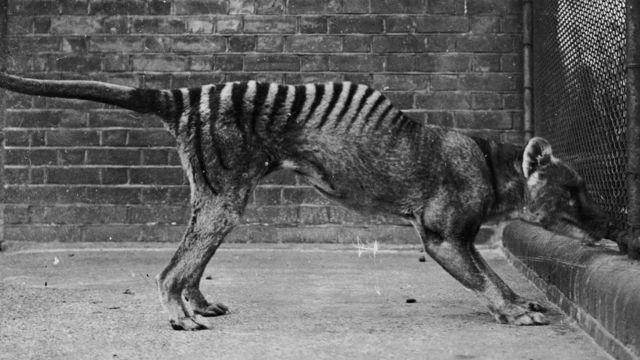 A misteriosa espécie que segue 'reaparecendo' após ser extinta - BBC News Brasil