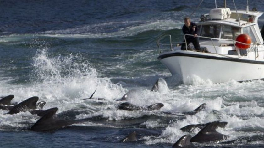 Hunting dolphins and whales (as in this archive image) is a traditional practice in the Faroe Islands.