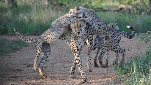 Cheetahs in Lowfield Karongwe