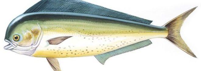 dourado-do-mar