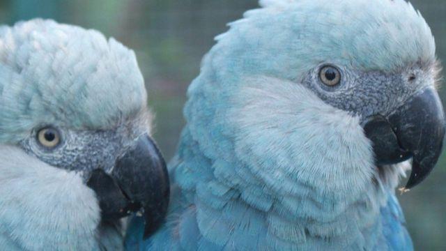 動物保育:拯救南美洲的藍色金剛鸚鵡 - BBC 英倫網