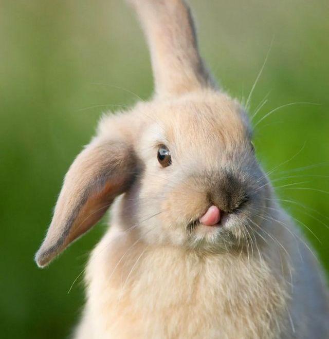 Les fonctions complexes de nombreux gènes sont mystérieuses. L'édition génétique peut donc réserver des surprises, comme ces lapins modifiés qui ont développé une longue langue de manière inattendue.
