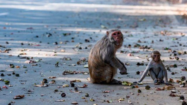 Monos en las calles de India.