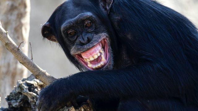이빨을 드러내고 소리를 지르는 침팬지의 모습